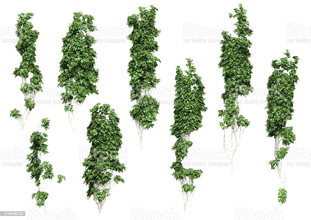 ivy leaves isolated on a white background. stock photo