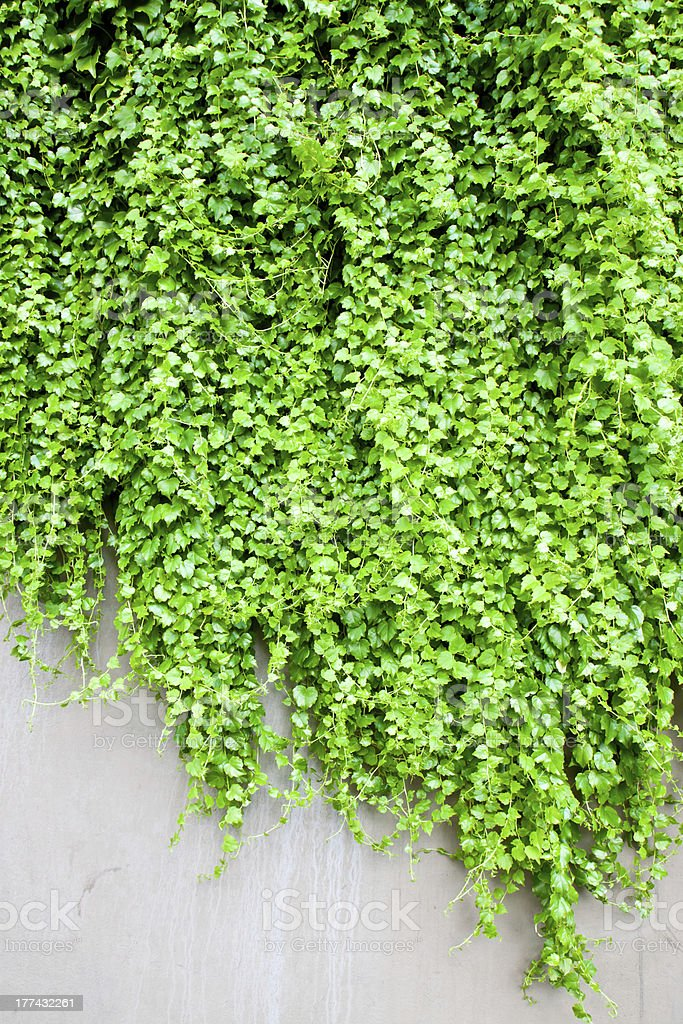 ivy leaves isolated royalty-free stock photo