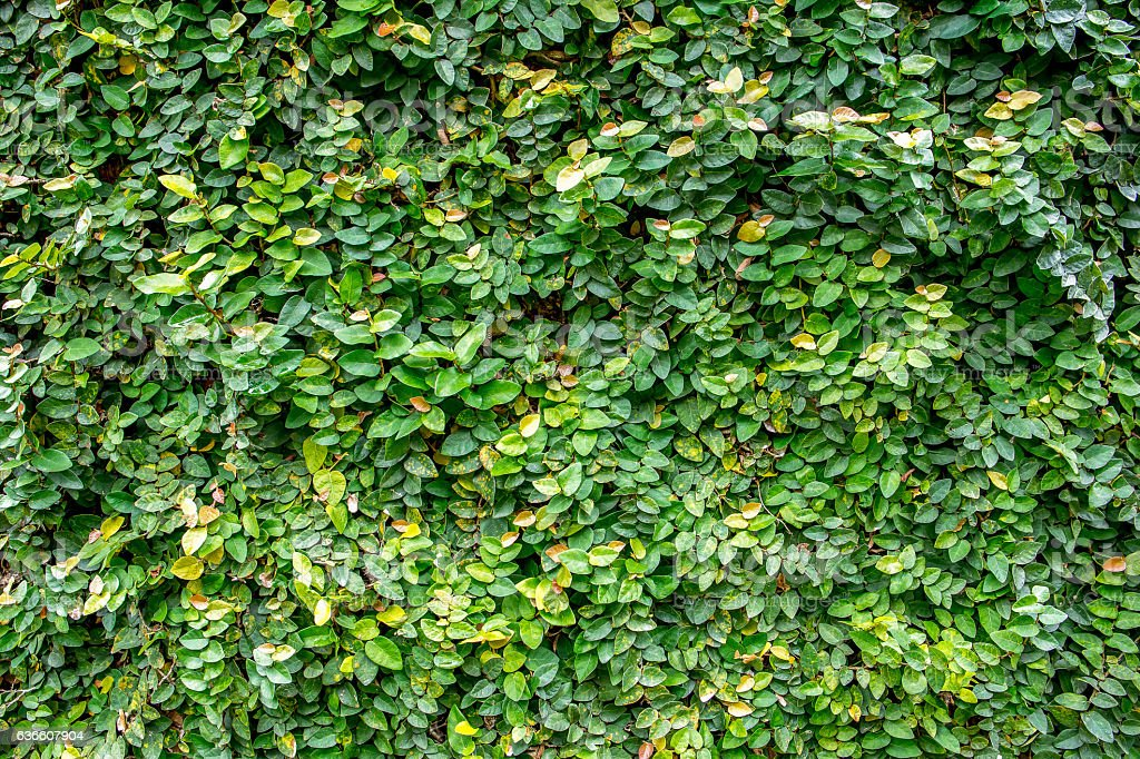 Ivy leaves on the wall texture background stock photo