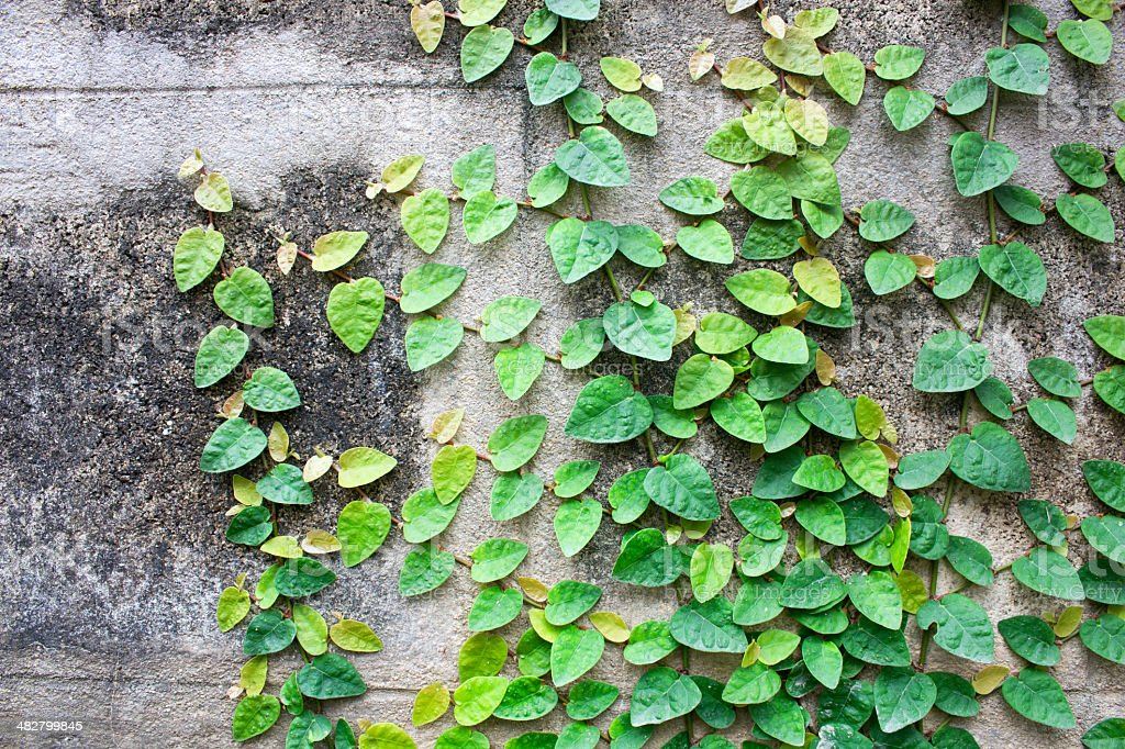 ivy leaves on wall background for wallpaper royalty-free stock photo