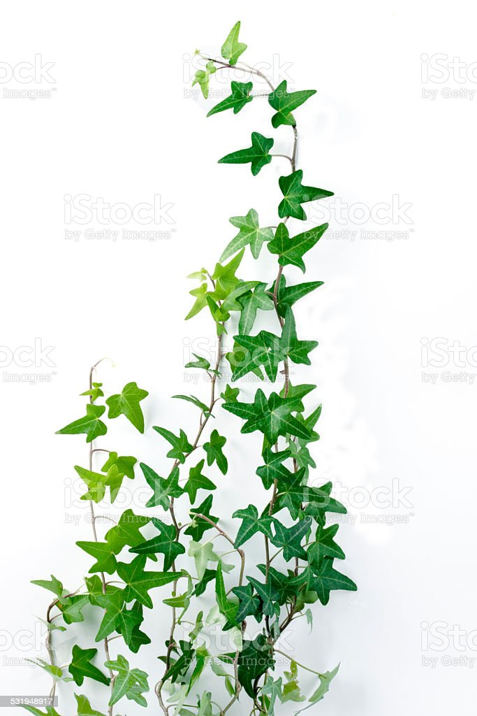 ivy leaves stock photo