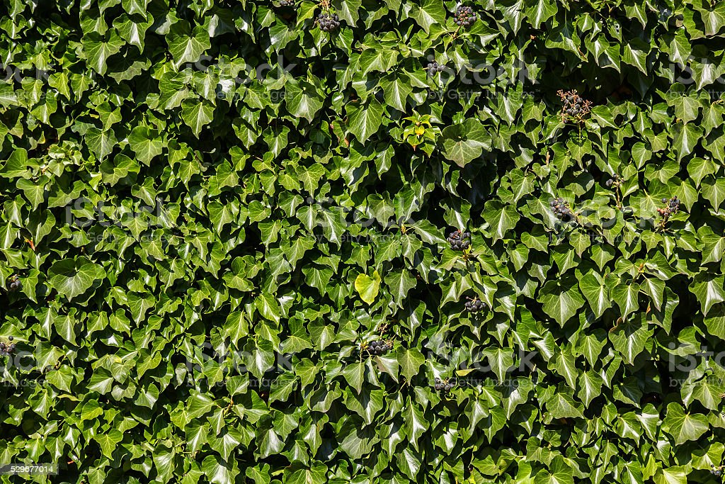 Ivy (Hedera). Natural green background. stock photo