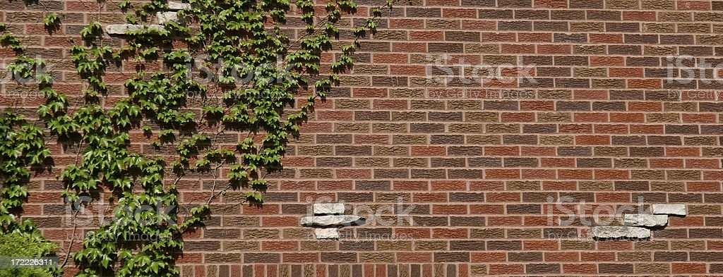 Ivy on a Brick Wall royalty-free stock photo