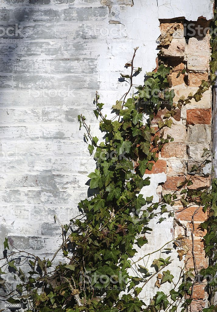 Ivy On a Broken Brick Wall royalty-free stock photo