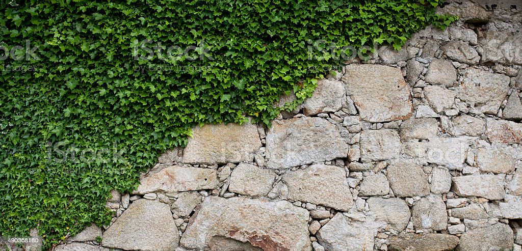 Ivy on a old stone wall stock photo
