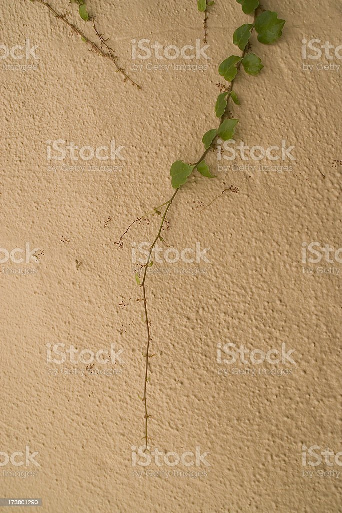 Ivy on a Stucco Wall royalty-free stock photo