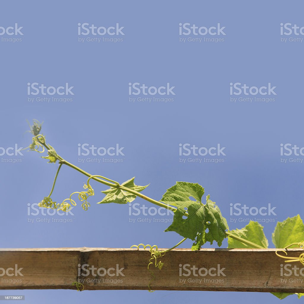 Ivy on blue sky royalty-free stock photo