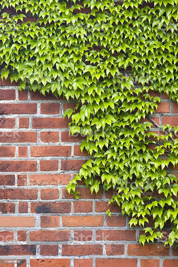 Ivy on brick wall royalty-free stock photo