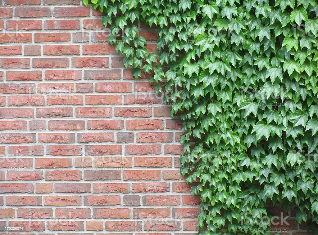 Ivy on Brick Wall stock photo