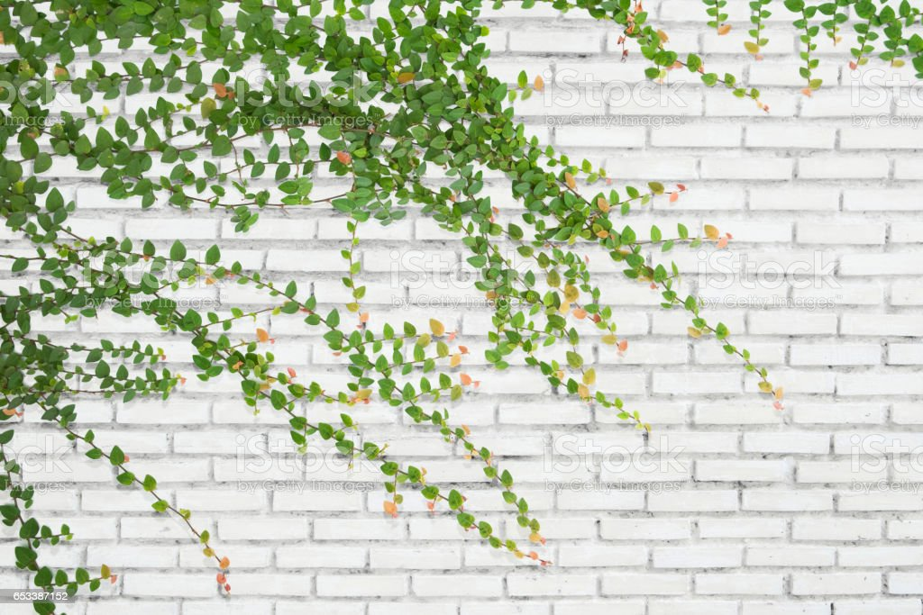 Ivy on bricks wall for background. stock photo