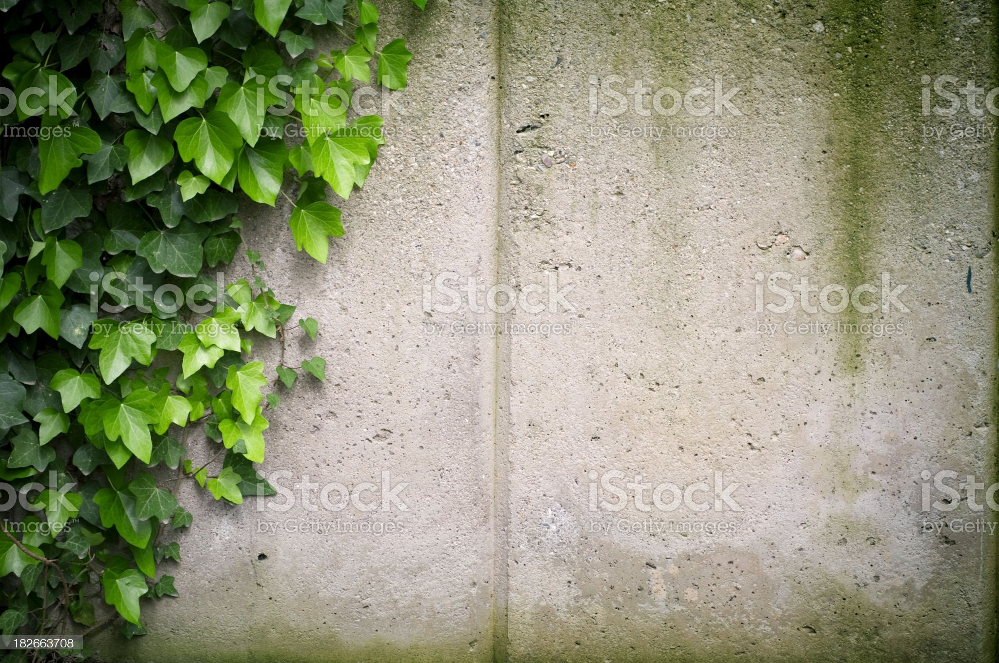 Ivy on concrete wall royalty-free stock photo