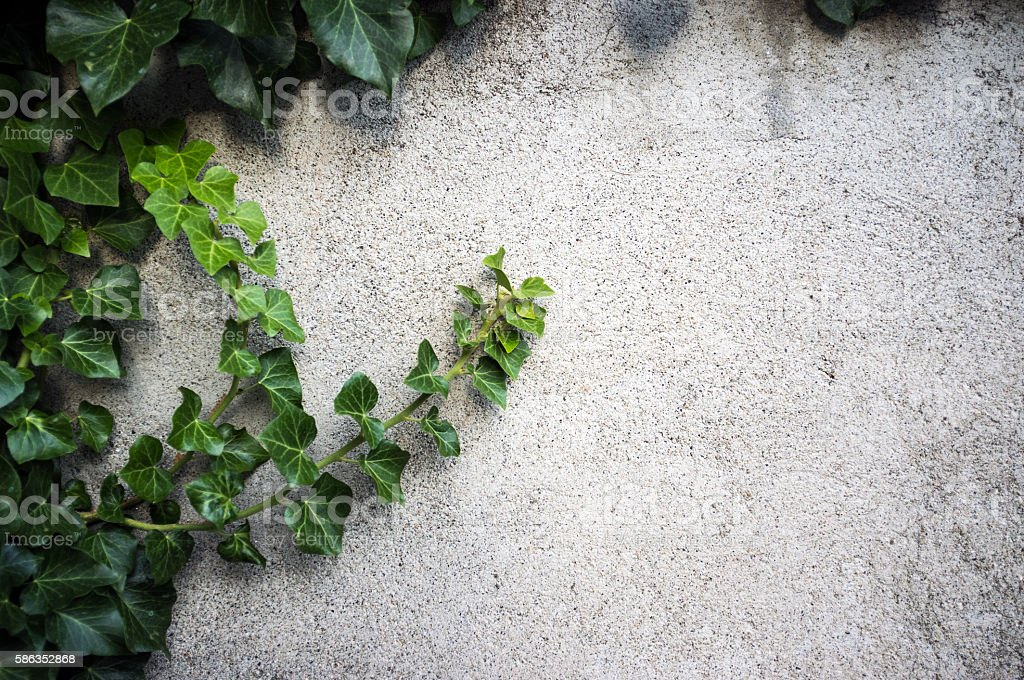 Ivy on concrete wall stock photo
