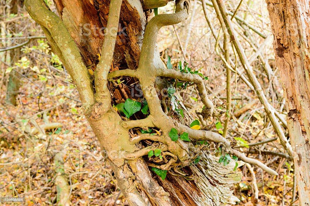 Ivy on dead tree stock photo