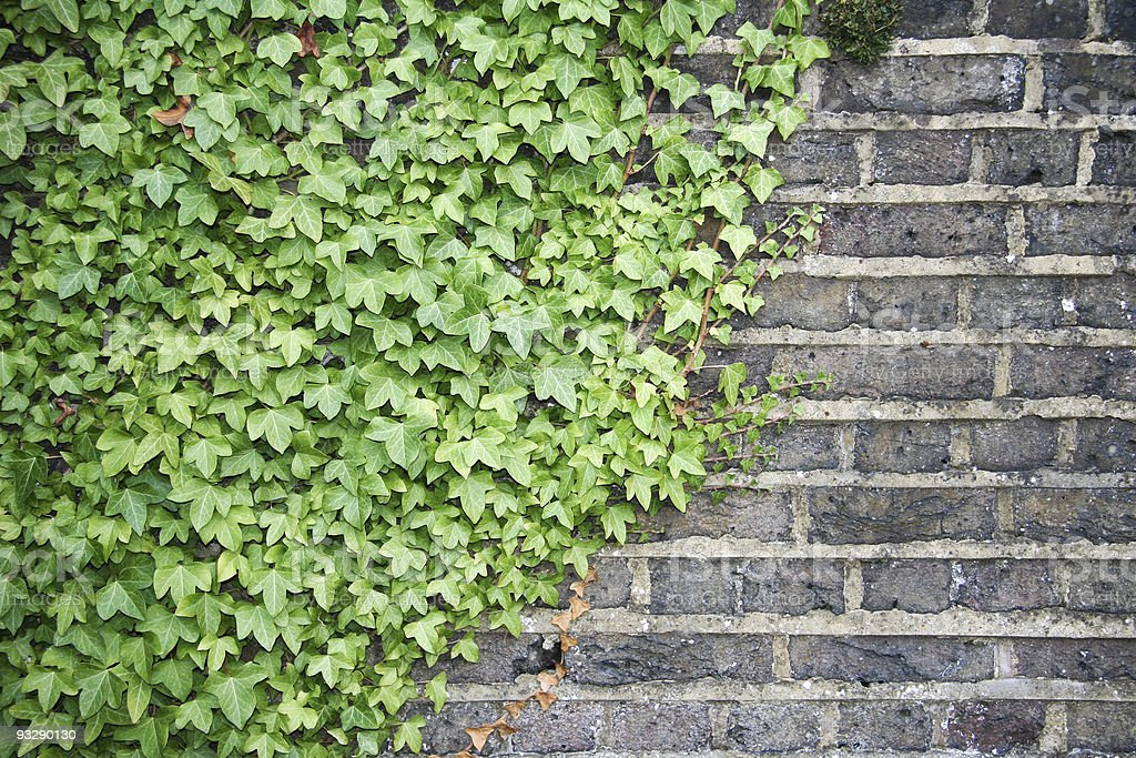 ivy on old brick wall background royalty-free stock photo