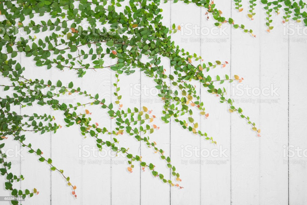 Ivy on old wooden planks for background. stock photo