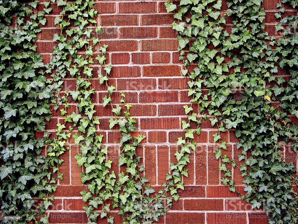 Ivy on the brick wall royalty-free stock photo