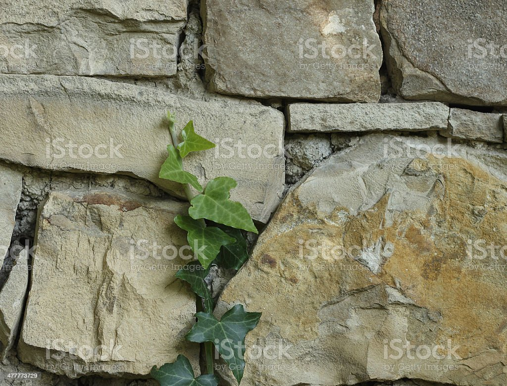 ivy on the wall royalty-free stock photo