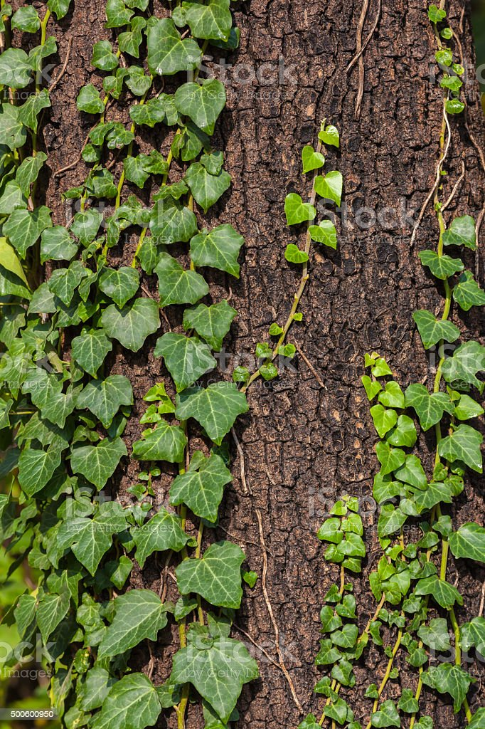 Ivy on tree stock photo