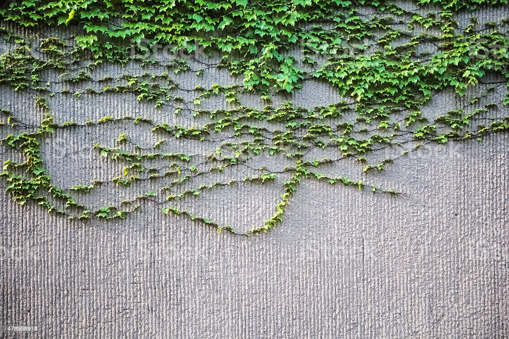 ivy on wall stock photo