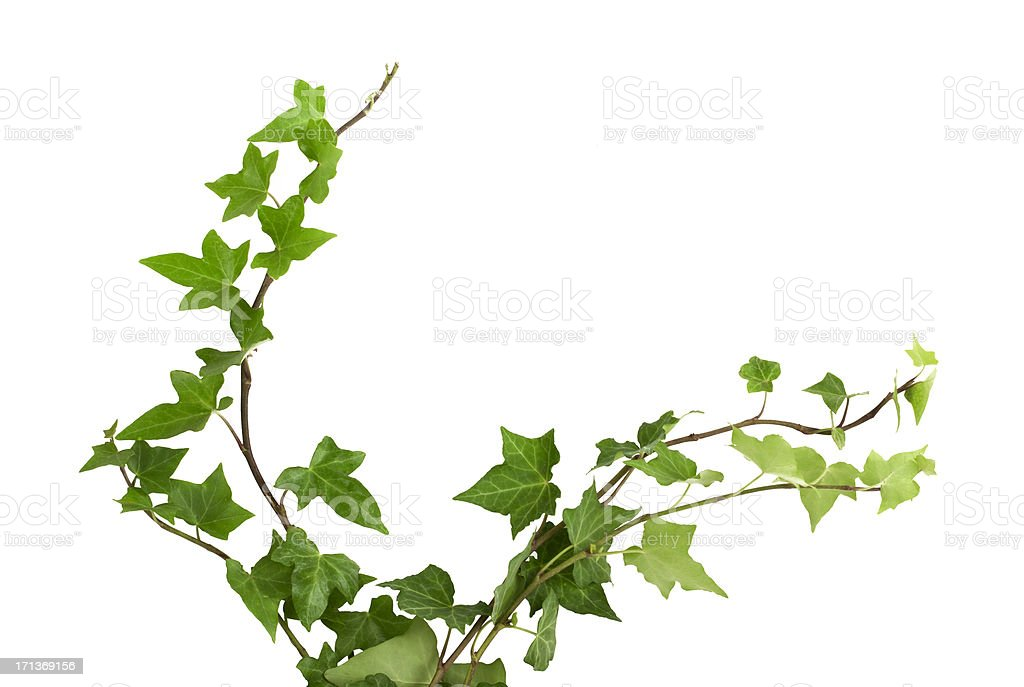 ivy royalty-free stock photo