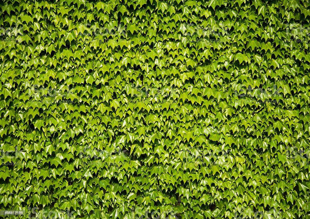 Ivy stock photo