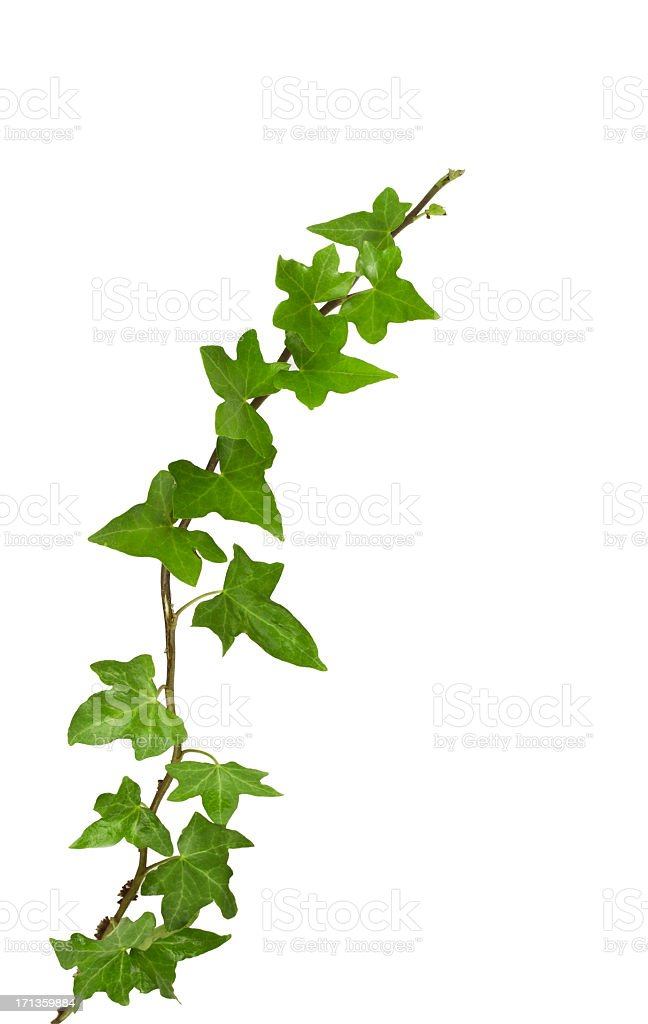 ivy plant, isolated on white, clipping path included. stock photo