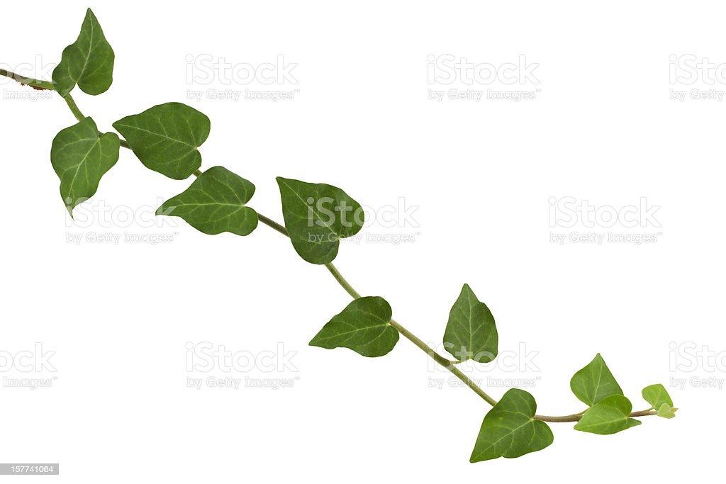 ivy plant, stock photo
