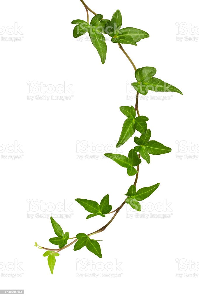 ivy plant. stock photo