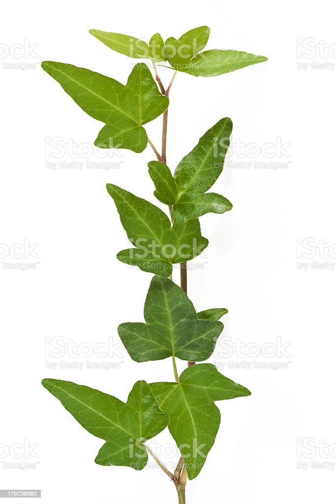 ivy plant. royalty-free stock photo