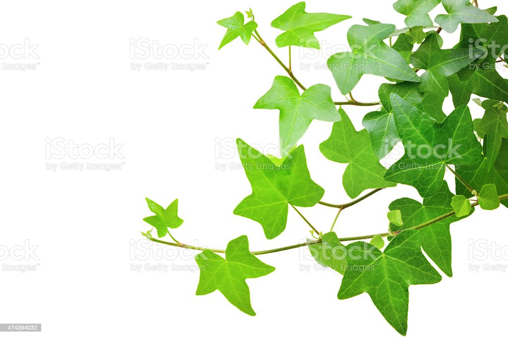 Ivy plant stock photo