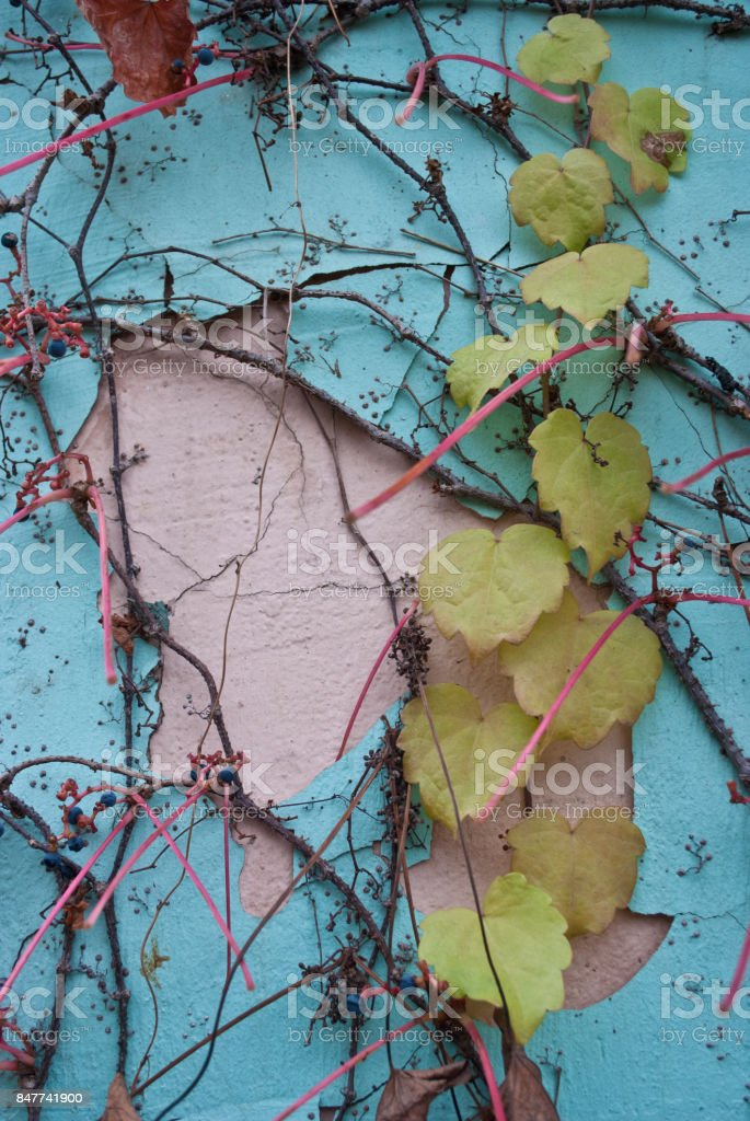 ivy red leaves stock photo