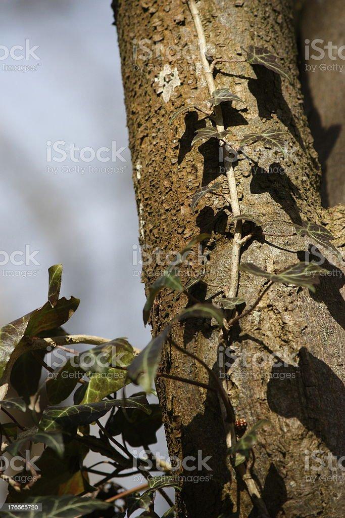 Ivy sombras a tree trunk. foto de stock libre de derechos