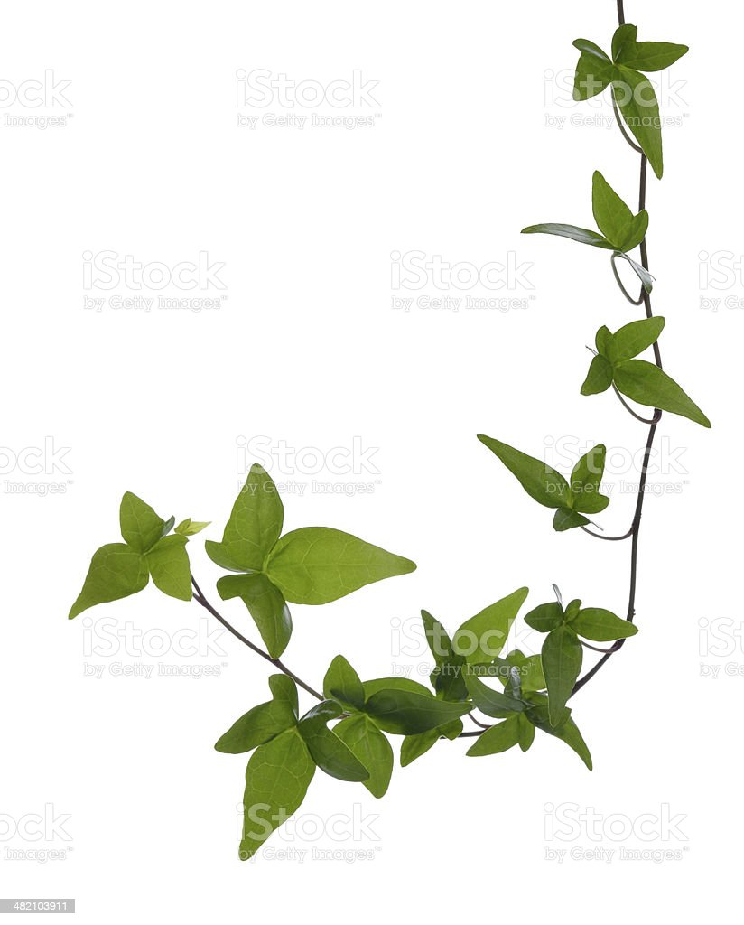 Ivy stem isolated. stock photo