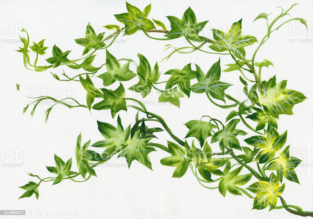 Ivy twig isolated stock photo