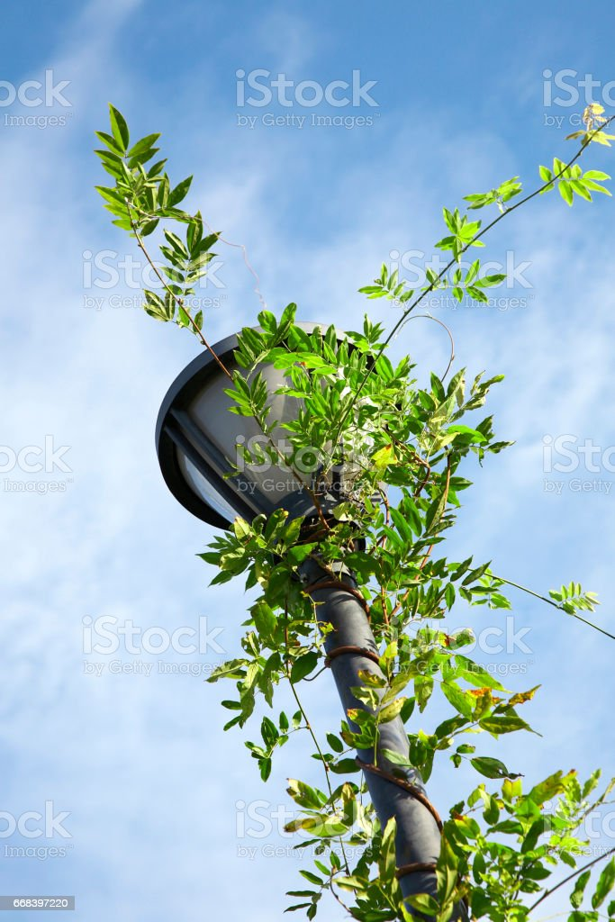 Ivy Twining on outdoor lights stock photo