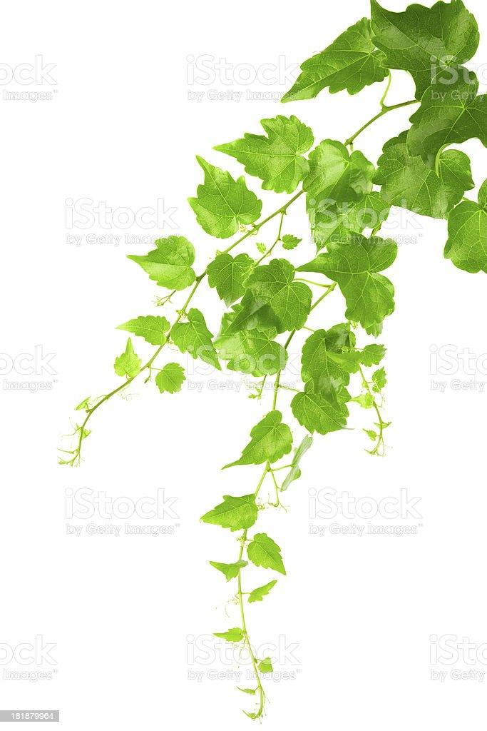 Ivy Vine isolated on white background royalty-free stock photo