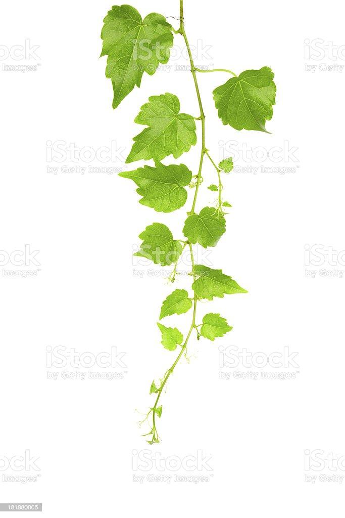 Ivy Vine isolated on white background stock photo