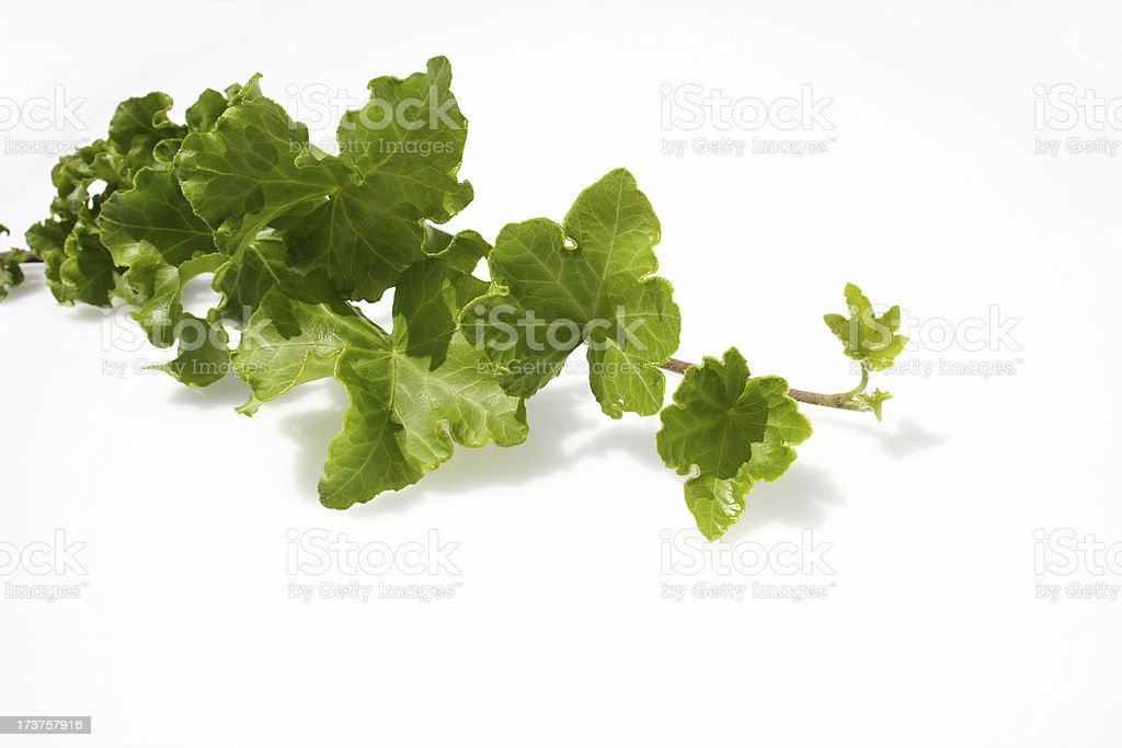 ivy vine royalty-free stock photo