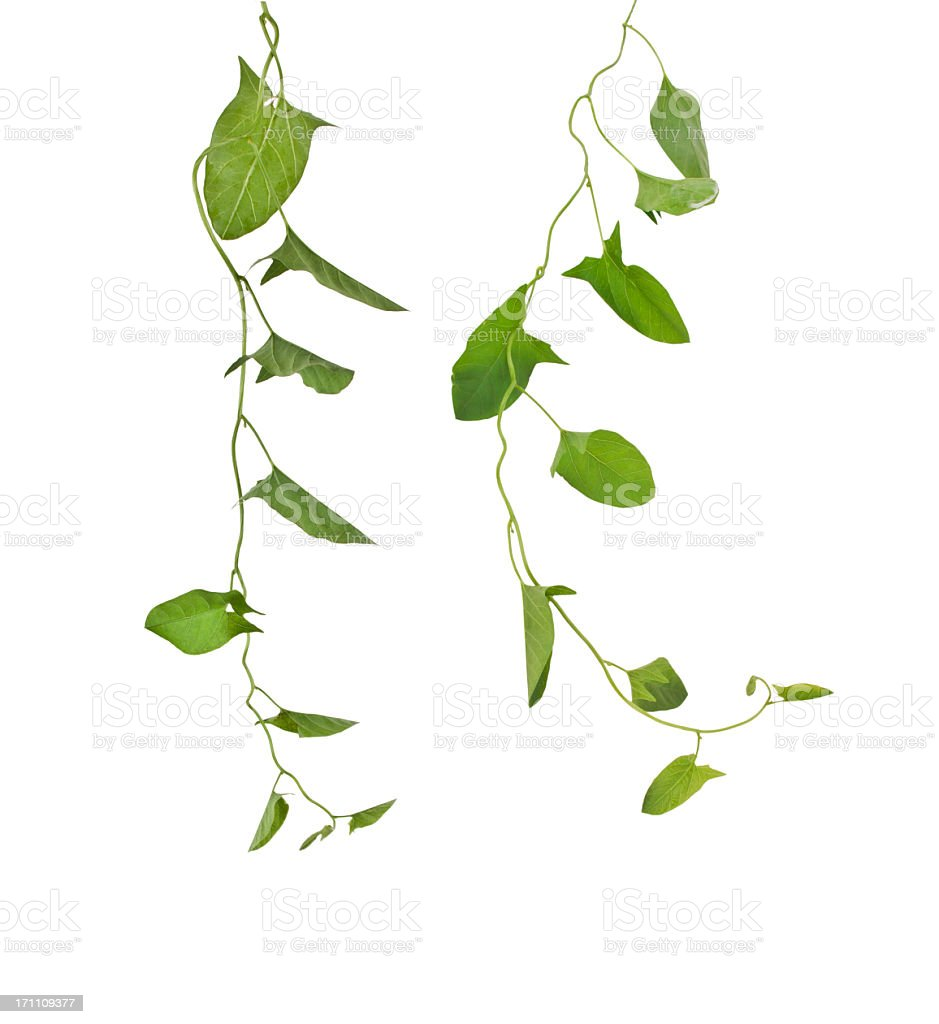 Ivy vines growing down against white background stock photo