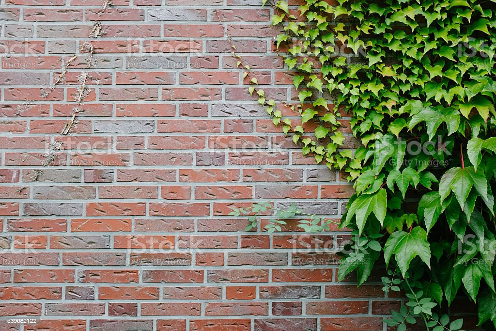 Ivy wall background stock photo