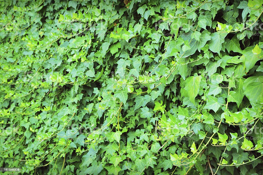 Ivy wall royalty-free stock photo