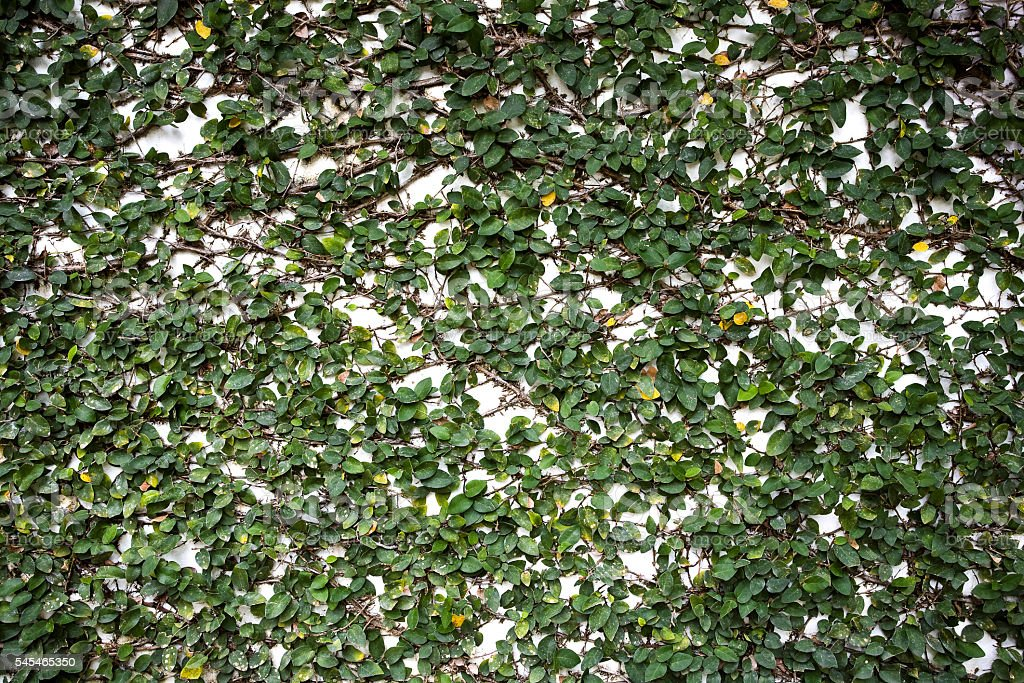 Ivy wall. stock photo