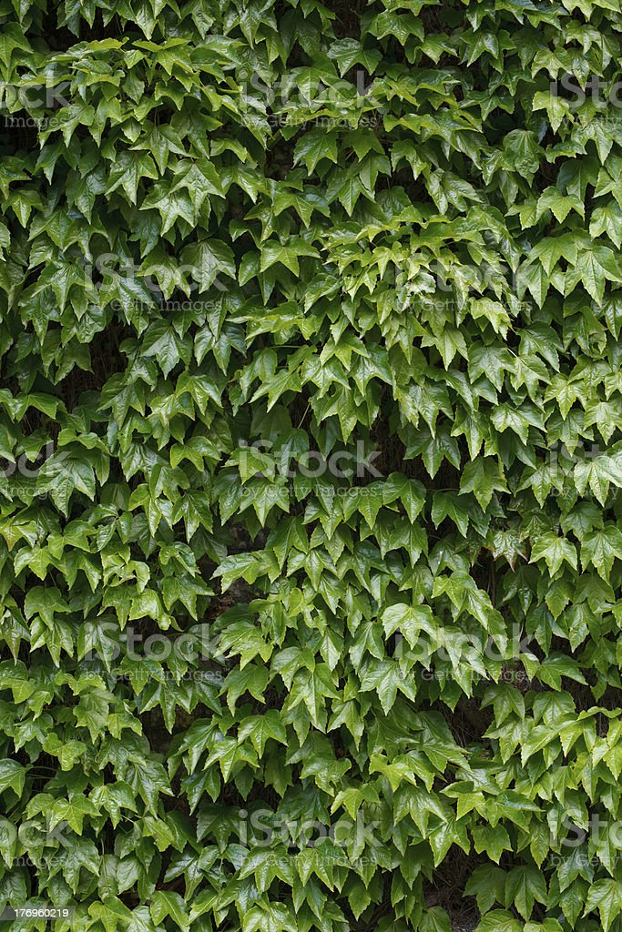 Ivy Wall, Vertical royalty-free stock photo