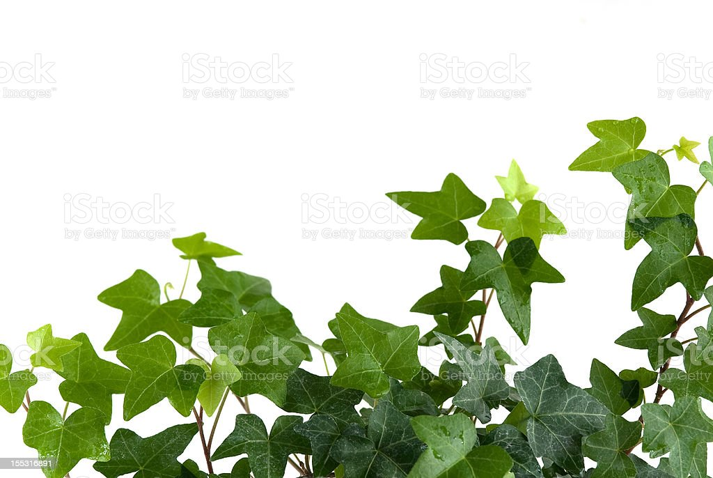 Ivy with drops of water royalty-free stock photo