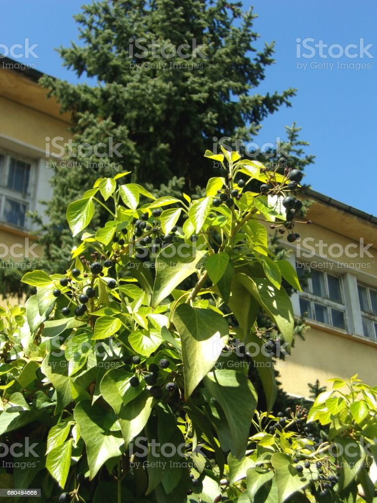 Ivy with ripe fruits stock photo