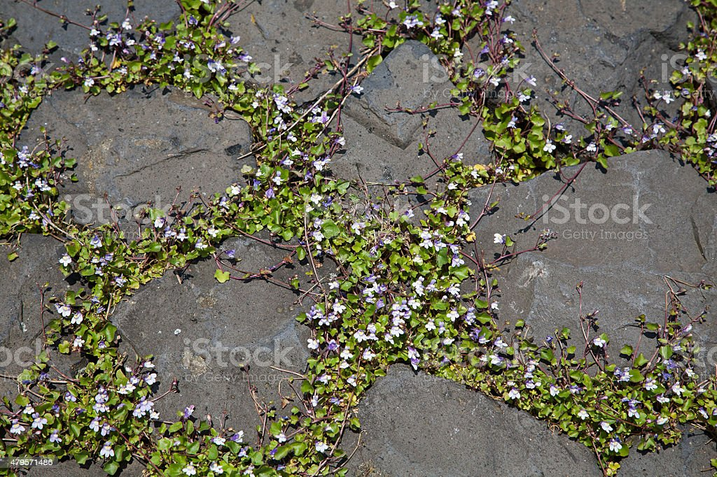Ivy-leaved toadflax between basalt stones stock photo