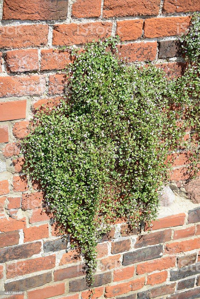 Ivy-leaved toadflax (Cymbalaria muralis) climbing on a brick wal stock photo