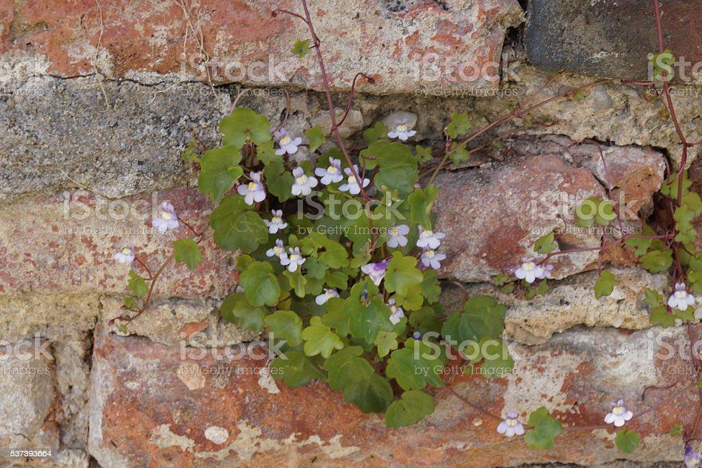 Ivy-leaved toadflax climbing on a brick wall (Cymbalaria muralis) stock photo
