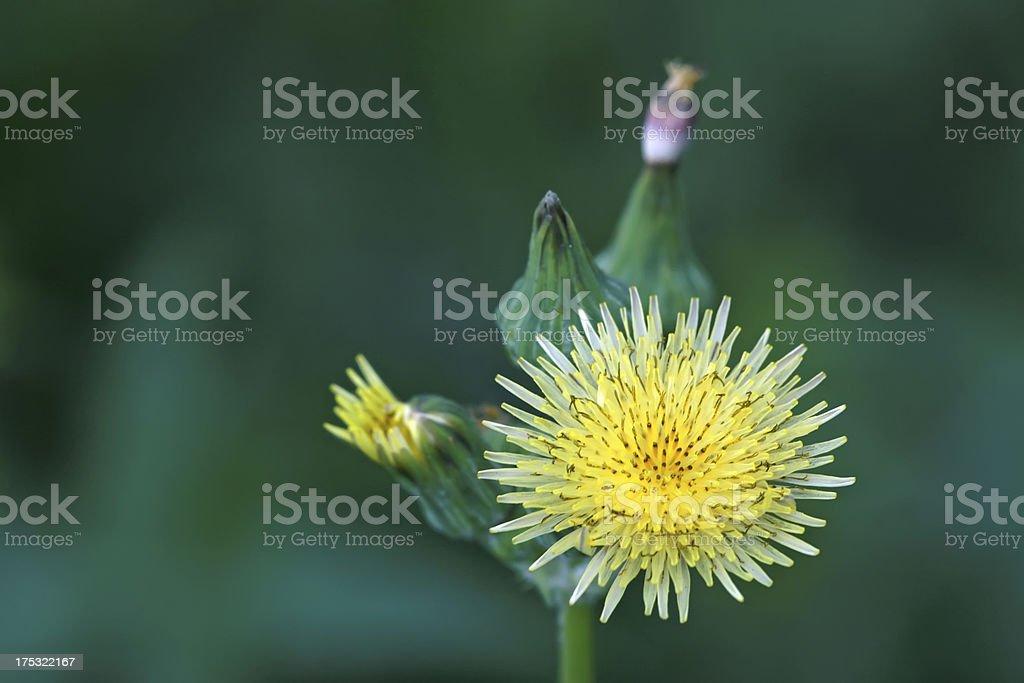 ixeris chinensis royalty-free stock photo