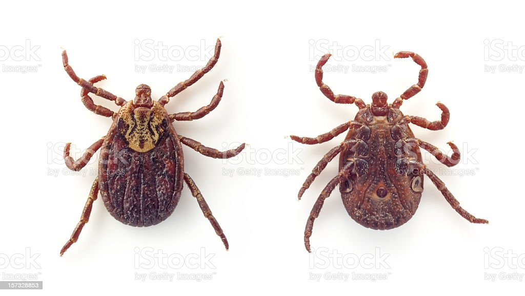Ixodid tick on back and stomach on white background stock photo